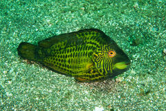 Cocktail wrasse Royalty Free Stock Photos