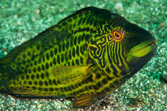 Cocktail wrasse stock images