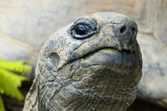 Cocky giant tortoise. Looking at you, sharp on the nose royalty free stock photos