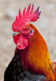 Cocky red rooster