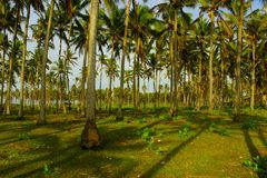 Coco, árvore, vegetal, Indonésia, planta Fotos de Stock Royalty Free