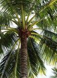 Coco-bomen royalty-vrije stock foto's
