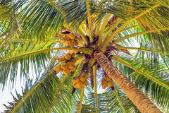 Coco on coconut tree Royalty Free Stock Images
