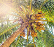Coco on coconut tree Stock Images