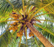 Coco on coconut tree, vintage nature background Stock Photos