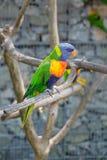 Coco colorido brillante Lorikeet del loro foto de archivo libre de regalías