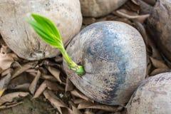 Coco creciente de la palmera de la semilla Foto de archivo