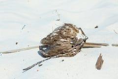 Coco de decaimiento en la arena blanca Imagen de archivo