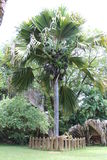 Coco De Mer Árvore imagens de stock royalty free