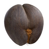 Coco de mer. Seychelles sea's coconut (coco de mer) on isolated background Royalty Free Stock Photo