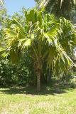 Coco-de-mer coconut palm. An extremely rare, young male coco-de-mer (Lodoicea maldivica) coconut palm on Fregate. Found naturally only on its indigenous Praslin stock image