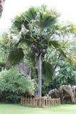 Coco De Mer Drzewo obrazy royalty free