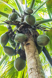 Coco de Mer. Famous endemic coconuts of Seychelles `coco de mer` Lodoicea maldivica growing on the palm. Vallee de mai, Praslin, Seychelles Royalty Free Stock Photo