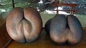 Coco de mer. Famous coco de mer fruit Stock Photo