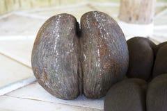Coco de Mer, fruit de paume, îles des Seychelles Photos libres de droits