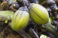 Coco de Mer, Mahe, Seychellen lizenzfreies stockbild