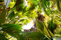 Coco de Mer palms. Tropical rain forest in Valle de Mai, Praslin, Seychelles stock photo