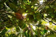 Coco de Mer palms. Tropical rain forest in Valle de Mai, Praslin, Seychelles royalty free stock photography