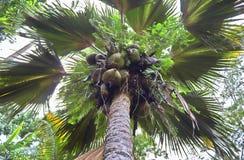 Coco de Mer palmtree på den Seychellerna ön royaltyfri foto