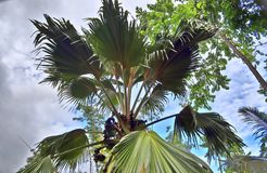 Coco de Mer palmtree on the Seychelles island. Taken in 2019 royalty free stock photography