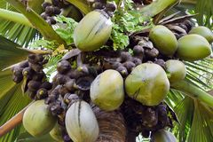 Coco Di Mer op de Palm stock foto's