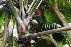 Coco do mar ou Coco de Mer Fotografia de Stock