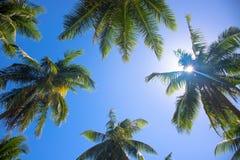 Coco drzewka palmowego wierzchołek z słońce racą Drzewko palmowe koronuje z zielonymi liśćmi na pogodnym nieba tle Zdjęcie Royalty Free