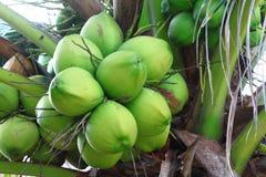 Coco en árbol Foto de archivo libre de regalías