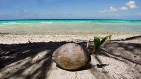 Coco en la playa tropical en Polinesia francesa almacen de video