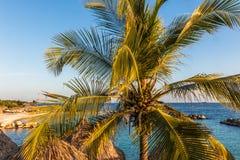 Coco en palmera Imágenes de archivo libres de regalías