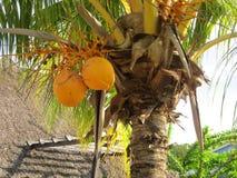 Coco en palmtree imagenes de archivo