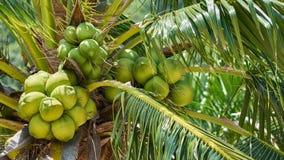 Coco en una palmera Imágenes de archivo libres de regalías