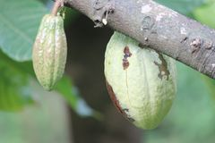 Coco Fruit. Couple of coco fruits which is very delicious. Idukki Royalty Free Stock Photos