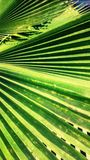 Coco leaf. Big leaf of coconut tree Stock Photo