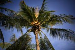 Coco na árvore do céu do mar brilhante Conjunto do coco na árvore de coco Imagem de Stock