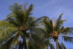 Coco na árvore do céu do mar brilhante Conjunto do coco na árvore de coco Imagem de Stock Royalty Free