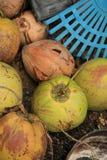 Coco na exploração agrícola Imagem de Stock Royalty Free