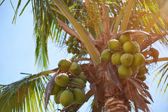 Coco nuts hanging on palm tree. In sunny day light blue sky background Stock Photography