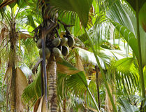 Coco o Coco de Mere Imagen de archivo libre de regalías