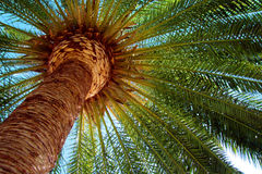 Coco palm Royalty Free Stock Photography