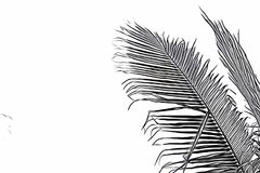 Coco palm leaf on white background. Sketch of palm leaf. Tropical vacation black and white digital illustration. Summer banner template with text place. Fluffy stock illustration