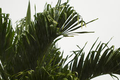 Coco palm leaves closeup on white cloudy sky background. Royalty Free Stock Images