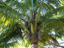Coco palm Royalty Free Stock Images