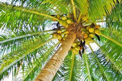Coco palm tree Stock Photos