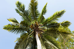 Coco-palm tree against blue sky Royalty Free Stock Images