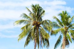 Coco palm tree on blue sky background. Sunny day on tropical island. Royalty Free Stock Photos
