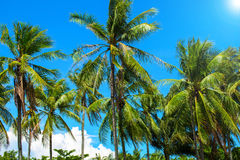 Coco palm tree with fluffy green leaves on bright sky. Tropical island landscape. Royalty Free Stock Images