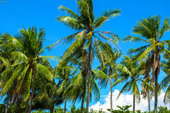 Coco palm tree with fluffy green leaves on bright sky. Tropical nature landscape. Exotic vacation banner template. Tropic lifestyle background. Summer holiday Stock Photo