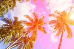 Coco palm tree in hot pink tone. Tropical landscape with palm Royalty Free Stock Photography