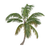 Coco palm tree isolated. Cocos nucifera Stock Photography